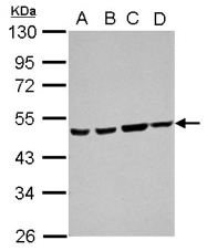GTX105440 - Ataxin-10