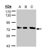 GTX105447 - Optineurin / HIP7