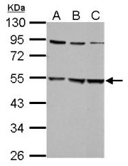 GTX105634 - Glycine receptor alpha-2
