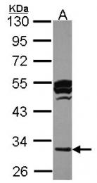 GTX105671 - Cathepsin O