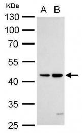 GTX105713 - TNFRSF25 / DR3 / TRAMP