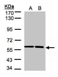GTX105721 - SR-alpha / SRPR