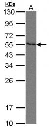 GTX105742 - CD112 / Nectin 2