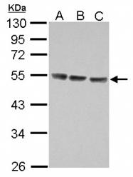 GTX105788 - CD213a1 / IL13RA1