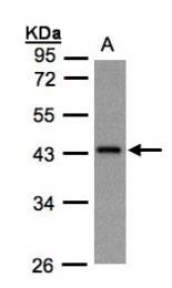 GTX105832 - G protein z alpha