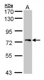 GTX105927 - STAM1