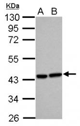 GTX105941 - Heme oxygenase 2 (HMOX2)