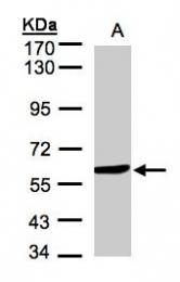 GTX105970 - Amine Oxidase B