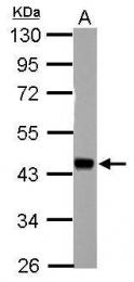 GTX106048 - HSFY1 / HSFY2