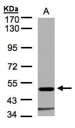 GTX106112 - Glycine receptor alpha-1