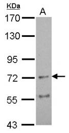 GTX106127 - Neuronal acetylcholine receptor subunit alpha-4