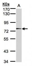 GTX106151 - Meprin A alpha