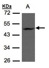 GTX106273 - ZDHHC13