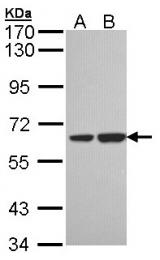 GTX106319 - Sorting nexin-18 (SNX18)