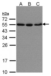 GTX106323 - KPNA2 / Importin alpha-2