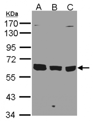 GTX106324 - KPNA3 / Importin alpha-3