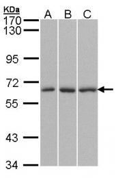 GTX106325 - KPNA4 / Importin alpha-4
