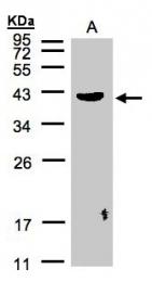 GTX106332 - Pleckstrin / PLEK