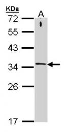 GTX106365 - Syntaxin 1A / STX1A