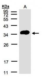 GTX106387 - Renin receptor
