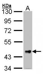 GTX106425 - Follistatin-related protein 1