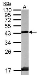 GTX106471 - Endophilin-A1