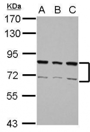 GTX106526 - hnRNP-R / HNRNPR