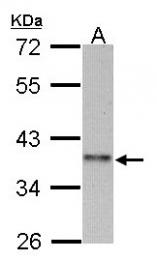 GTX106554 - Cyclin I2
