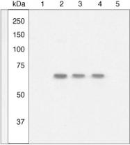 GTX10684 - NF-kB p105 / p50