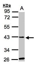 GTX106956 - GLYATL1 / GNAT