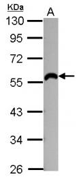 GTX107072 - Beta-2 adrenergic receptor