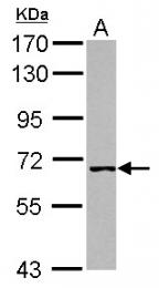 GTX107101 - ATPase WRNIP1