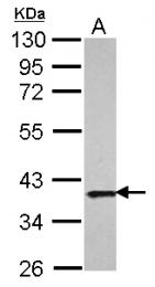GTX107122 - APEX1 / REF-1