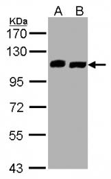 GTX107271 - C16orf62