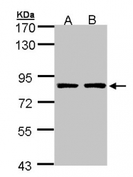 GTX107346 - PAF1 / PD2
