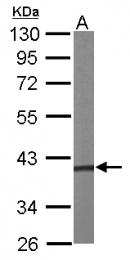 GTX107447 - PRPSAP1