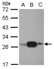 GTX107482 - Adenylate kinase 3 (AK3)