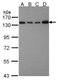GTX107684 - SART3 / TIP110