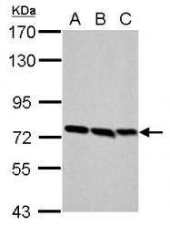 GTX107688 - Formin-binding protein 1