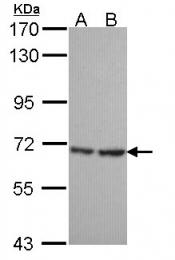 GTX107693 - SH3BP1