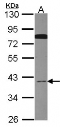 GTX107705 - CDC37L1