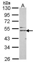 GTX107717 - Nogo 66 receptor