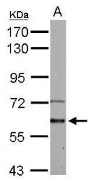 GTX107815 - Activin receptor type 1 (ACRV1)