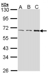 GTX107855 - FAST kinase