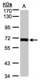 GTX107934 - CoA synthase