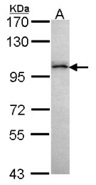 GTX107991 - ARHGAP26 / OPHN1L