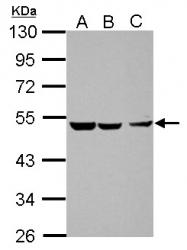 GTX108136 - CXCR7 / GPR159