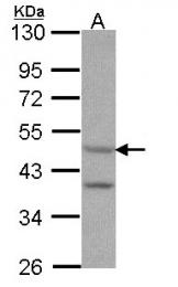 GTX108157 - Serotonin receptor 7 (HTR7)
