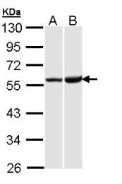 GTX108164 - Kappa Opioid Receptor