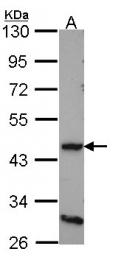 GTX108178 - Dopamine D4 receptor